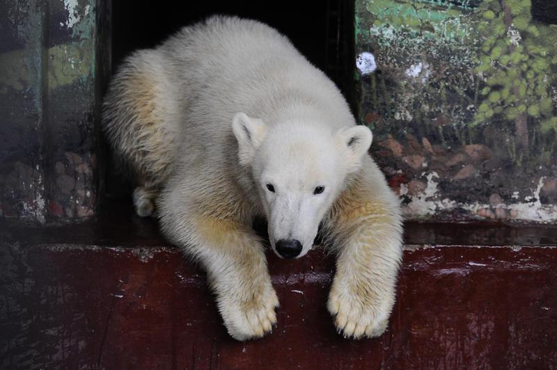 ВПермском зоопарке умер детёныш белого медведя